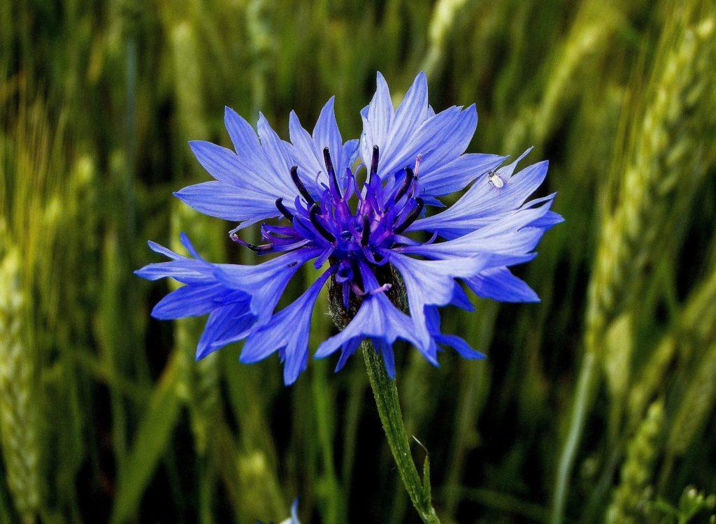 Le Bleuet de France est une œuvre caritative intégrée à l'Office national des anciens combattants et victimes de guerre. La fleur des champs bien connue des ouvriers agricoles est aujourd'hui un symbole du souvenir.