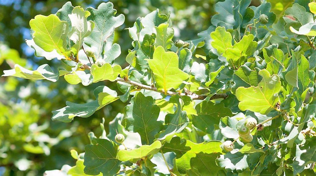 Les chênes sont cultivés pour leur bois dur, leur écorce (riche en tanins), leurs glands (qui nourrissent les porcs lors des glandées).