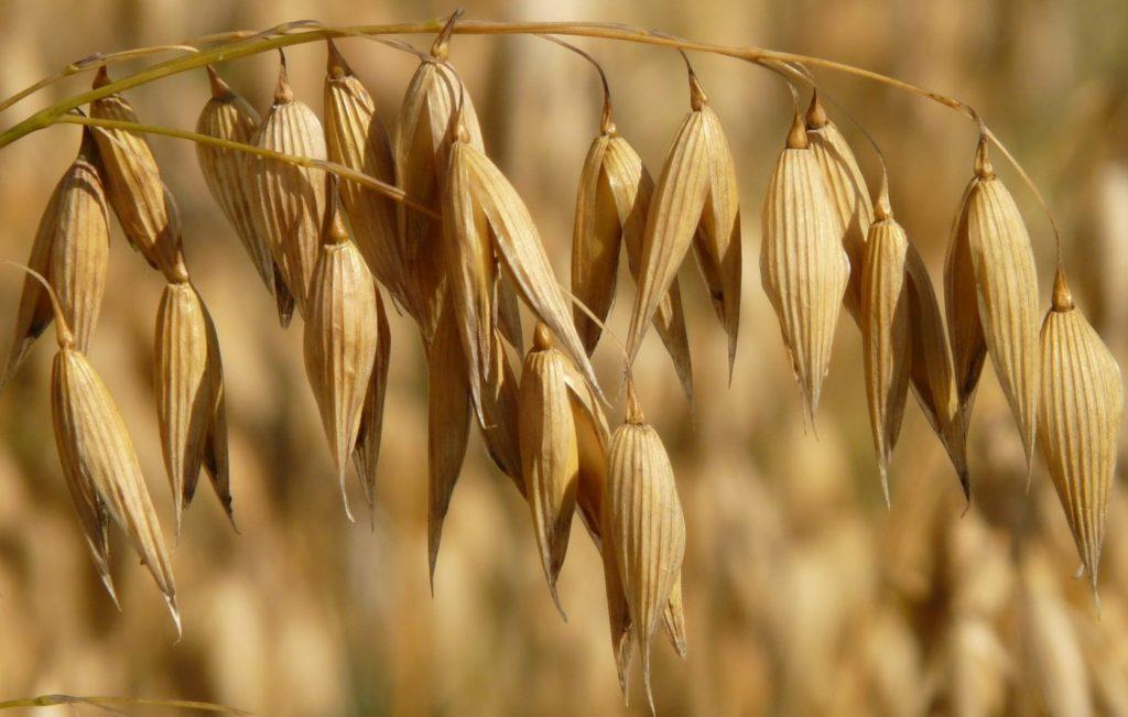 L'avoine cultivée (Avena sativa) est utilisée comme céréale ou comme plante fourragère.