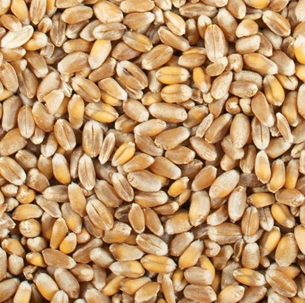 Le froment est également appelé blé tendre (Triticum aestivum).