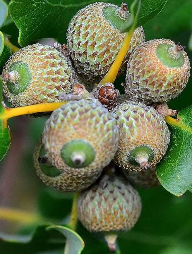 Le chêne rouvre ou sessile (Quercus petraea) est aujourd'hui utilisé par la Tonnellerie de Champagne-Ardenne.