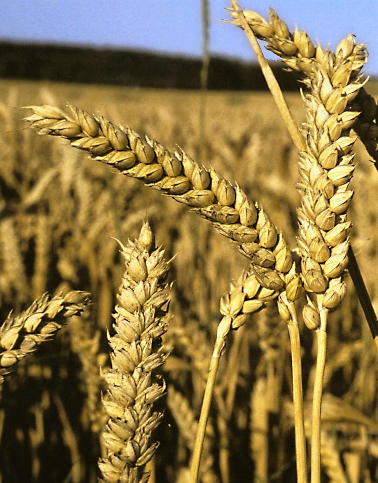 La fauchée était la quantité d'herbe qu'un agriculteur pouvait couper en un jour.