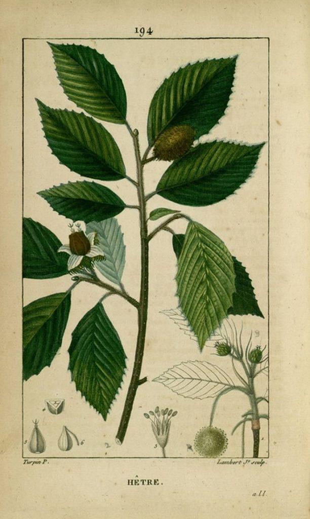 Fau (faux) vient du latin Fagus sylvatica, le nom scientifique du hêtre commun (planche tirée de la flore médicale de Pierre François Chaumeton, 1817).