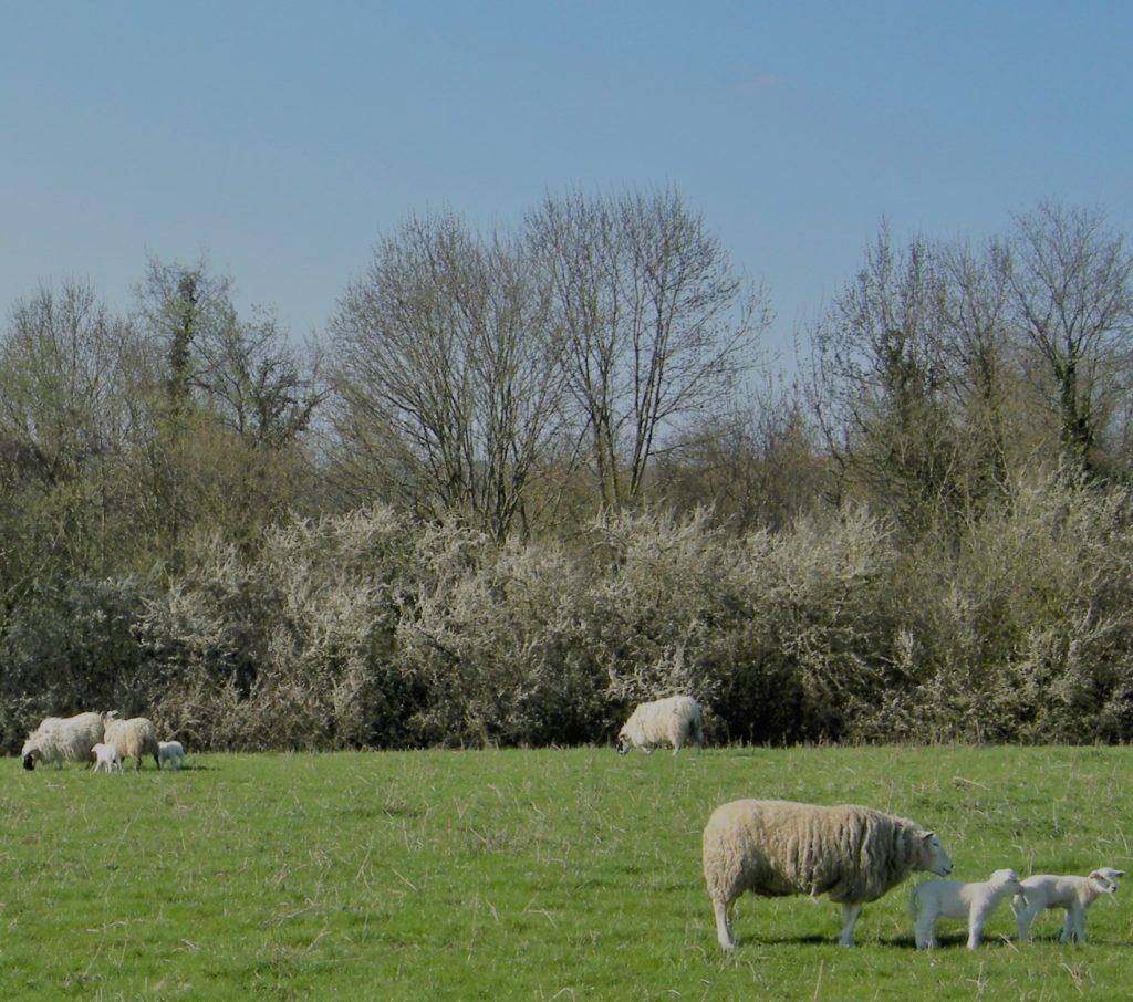 Agneaux et brebis des Ardennes, repérage topographique des environs de La Romagne effectué le samedi 10 avril 2010. Crédits photographiques : © 2020 laromagne.info par Marie-Noëlle ESTIEZ BONHOMME.