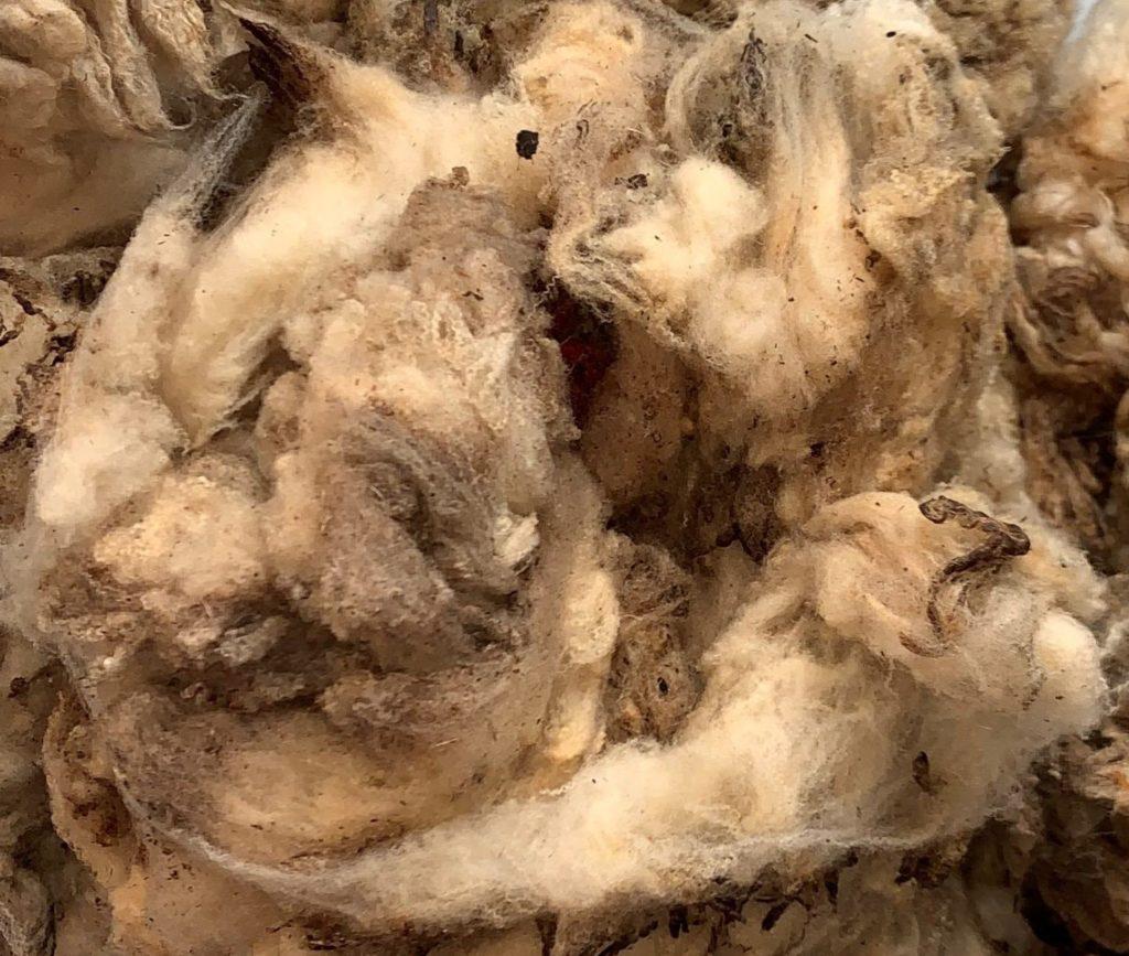 Laine de mouton brute (toison non lavée, en suint).