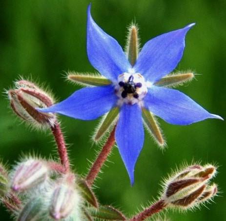 La bourrache officinale (Borago officinalis) est une plante annuelle courante en Europe.
