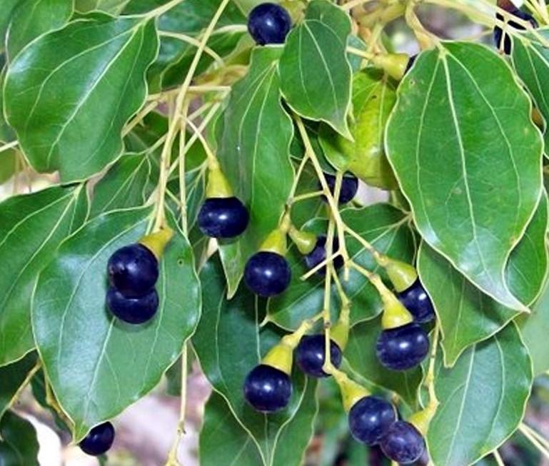 Le camphrier (Cinnamomum camphora) a été utilisé contre l'épidémie de choléra en 1831–1832.