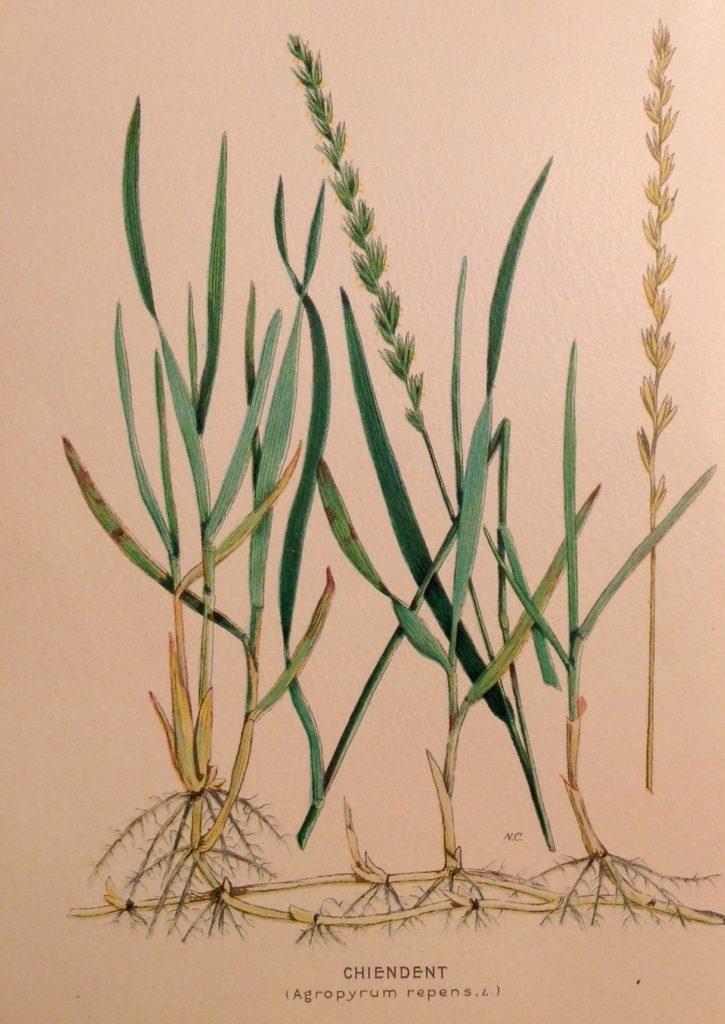 Considéré comme une mauvaise herbe, le chiendent (Agropyron repens, Elytrigia repens, Elymus repens, Triticum repens) est censé possèder des vertus anti-infectieuses.