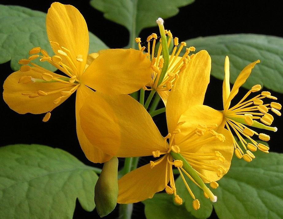 La grande chélidoine (Chelidonium majus) est une plante de la famille des Papavéracées.