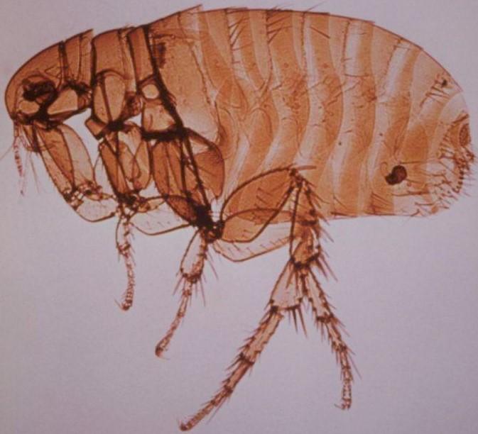 La puce de rat Xenopsylla Cheopis est responsable de la transmission du typhus murin, notamment via les céréales.