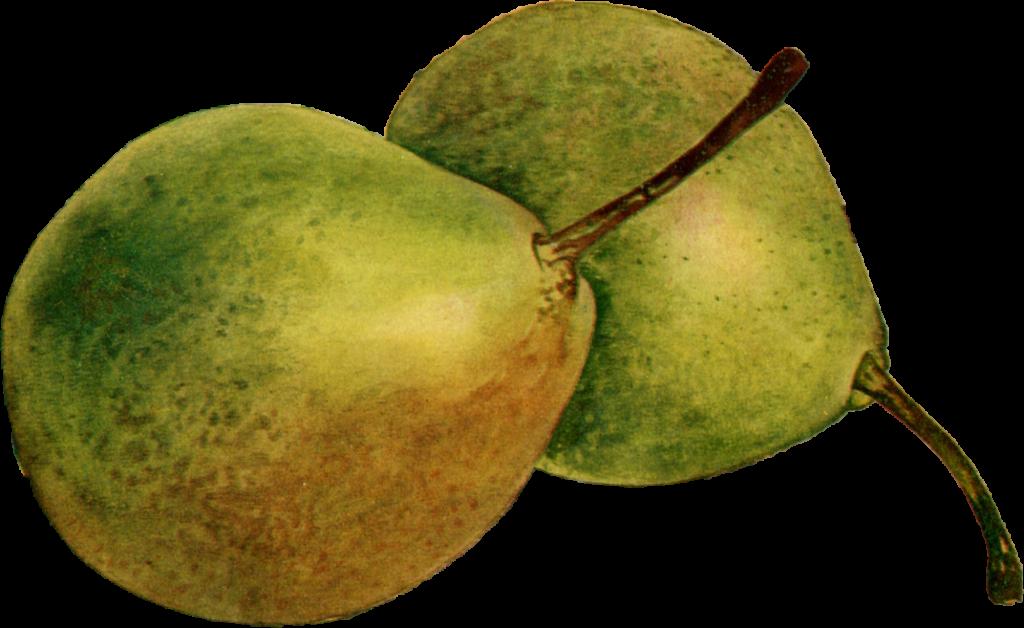 La poire fondante Thirriot (Pyrus communis L.) est une variété de poire typique des Ardennes.